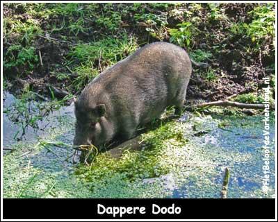 Dappere Dodo