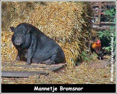 Mannetje Bromsnor