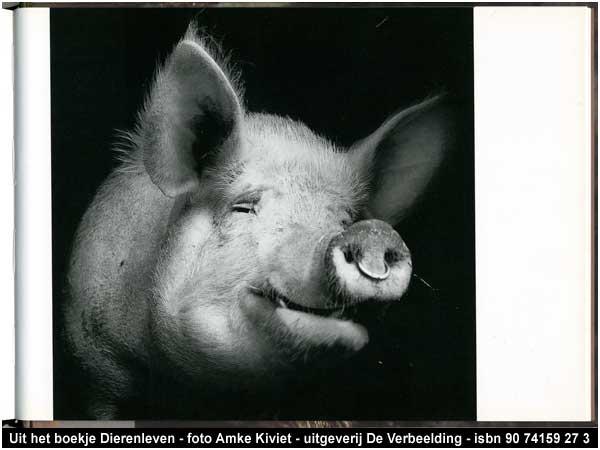 hoe oud worden varkens